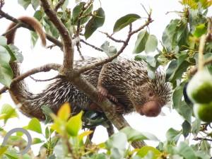Coendou baturitensis - Aratuba, CE - Hugo Fernandes-Ferreira